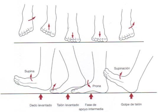 anatomia-funcional-pie