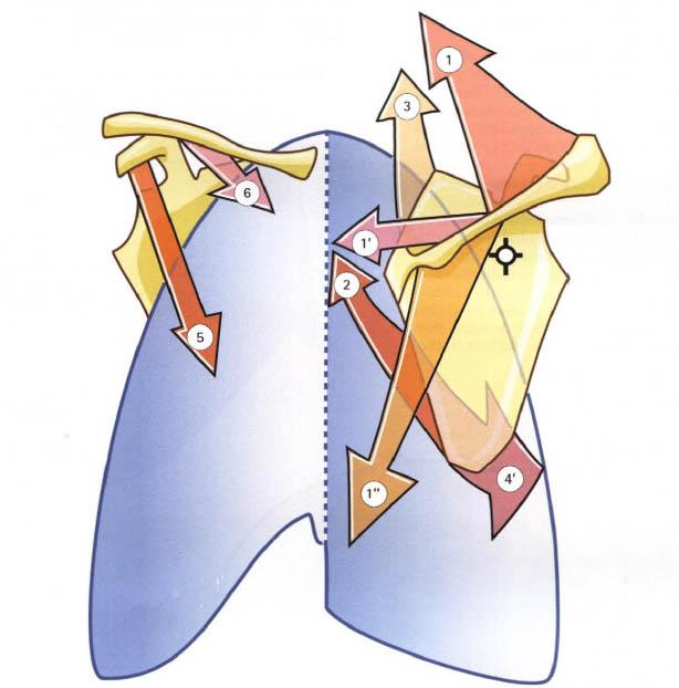 Imagen extraída de: Kapanji A.I. : Fisiología articular: Miembro superior
